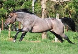 Garanhão a vende cavalo de alticima linhagem pronto em team penning