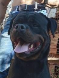 Próxima Ninhada Rottweiler ótima qualidade