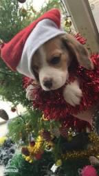 Filhote de beagle para reserva HOJE AQUI NO PET GOLD DOG KENEL