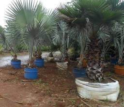 Palmeiras e grama esmeralda