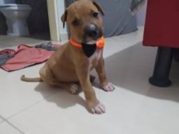 Filhote de Pitmonster com American Pitbull terrier