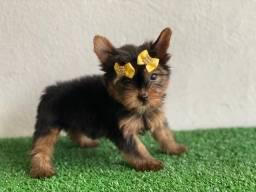 Yorkshire Terrier fêmea ! Alto padrão!
