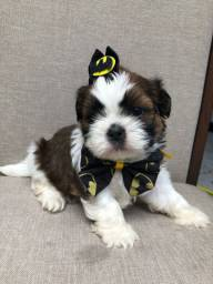 Machinhos de shih tzu mini