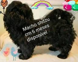 Shitzu machinho