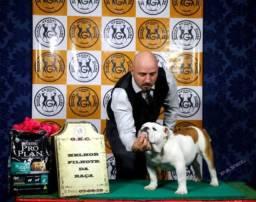 Bulldog inglês macho a venda