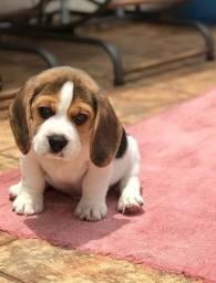 Ursinho!! Beagle ^13 Polegadas* Filhote com Pedigree ++ Garantia de Saúde