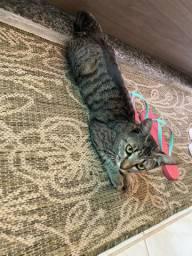 Gato Macho para doação Responsável