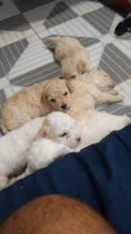 Poodle toy machos
