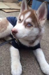 Husky Siberiano Filhote! Com Pedigree e Garantia de Saúde