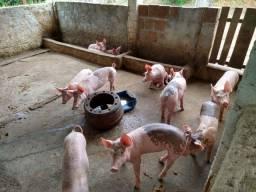 Porcos com 90 dias