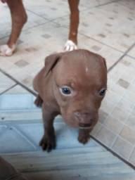 Filhote Pitbull