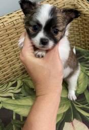 Chihuahua macho Pêlo longo pronta entrega