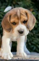 Beagle tricolor filhotes 13 polegadas