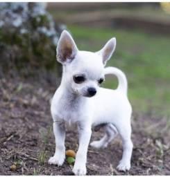 Chihuahua - Filhotes Lindos com Pedigree!!! Pronta Entrega
