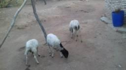 Vendo 3 carneiro