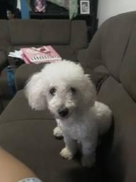 Poodle procurando um namoradinho