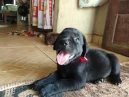 Fêmea Labrador c/Boxer