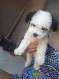 Cachorra  poodle toy 900