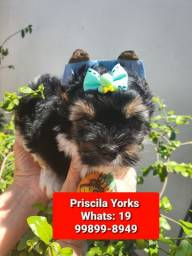 Yorkishire terrier filhotes exclusivos