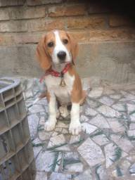 Vende-se filhote de Beagle com Fox americano