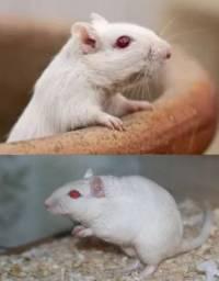 Pequeno roedor de estimação - Ubatuba