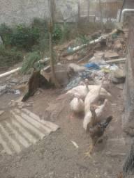 Guine branco e brahma e patos e ig