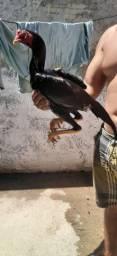 Vendo frango de Raça