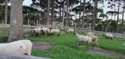 Vende-se ovelhas, chibarro e cordeiros