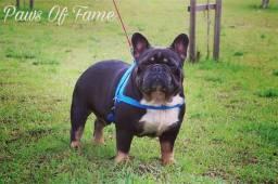 Disponível p/ coberturas Bulldog Frances Blue And Tan