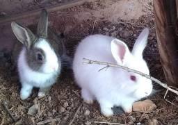 Promoção filhotes de coelho 20$ / presente pra seus filhos