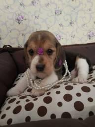 Procura uma fêmea de Beagle 13 polegadas de qualidade aqui tem