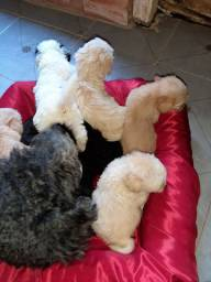 Cachorros poodle.