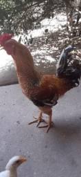 Vendo um galo R$ 55 reais e 3 frangos 25 reais a unidade