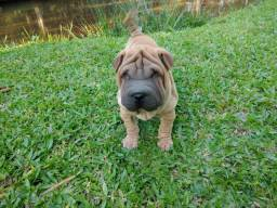 Macho de sharpei