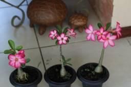 Rosas do Deserto - a partir de 40 reais.