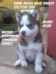 Husky Siberiano : Femeas olhos castanho e azuis C/pedigree