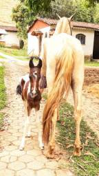 Égua + potra pampa + prenhez do mesmo cavalo
