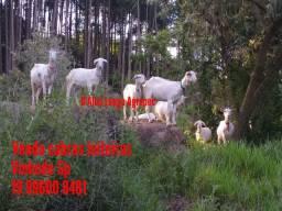 Vendo cabras e cabritas Saanen leiteiras