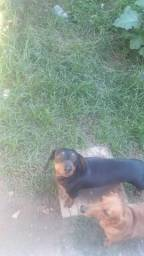 Basset dachshund com 45 dias de vida