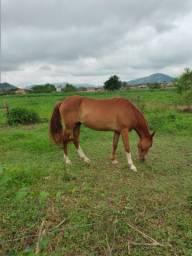 Cavalo marcha batida macio
