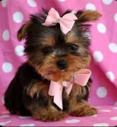 Yorkshire Terrier micro, lindíssimas! Parcelamos!