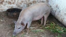 Leitoa Leitão porco porca