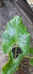 LINDA PLANTA FOLHOSA