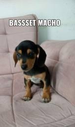Basset macho - a vida é mais colorida com um cachorro!