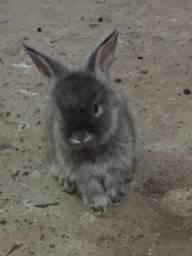 Vende-se filhotes de coelho