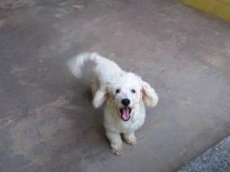 Cachorro Poodle disponivel cruzar!
