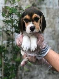 Beagle linhagem pura