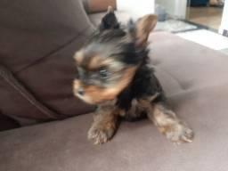 Vende-se um filhote de Yorkshire Terrier