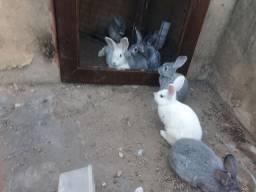 Vendo lindos coelhos