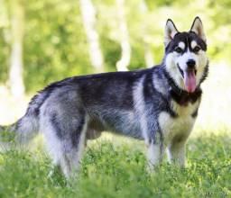 Husky siberiano 11 meses com Pedigree e todas as vacinas em dia. R$ 600,00